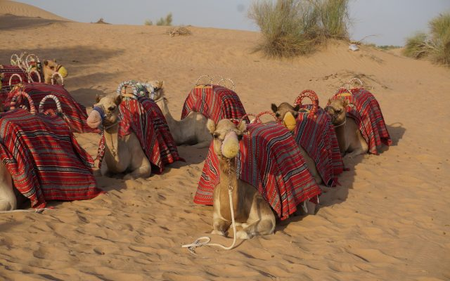 Camels of Tunesia