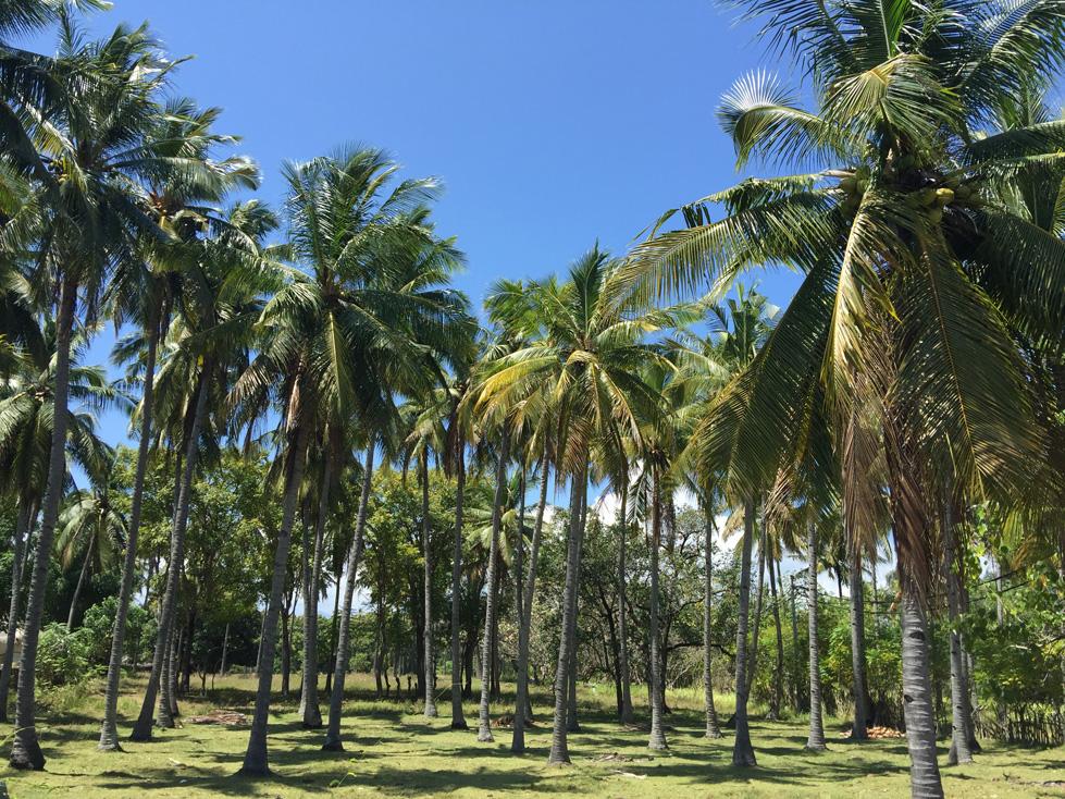 Gili Air palm trees