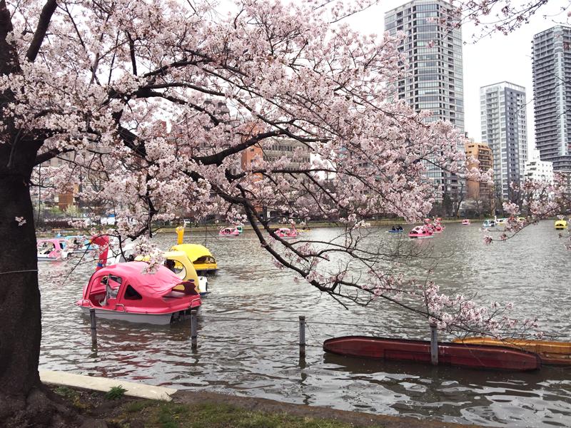 cherry-blossom-japan