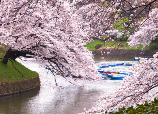 cherry-blossom-in-japan