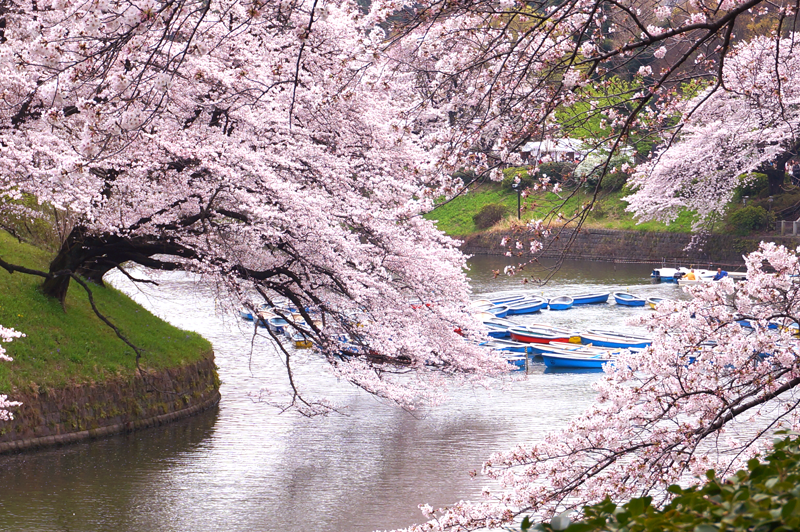 The ultimate guide to cherry blossom in Japan